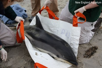 Dolphin in stretcher